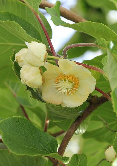 Actinidiaceae Kiwifruit and Chinese Gooseberry Family Tree and Shrub Images