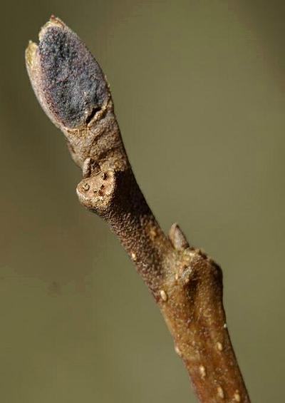 Betulaceae Birch Family