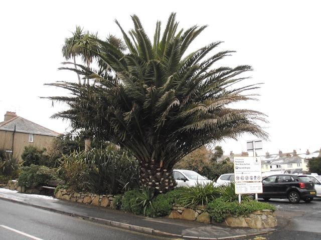 Canary Island Date Palm Uk