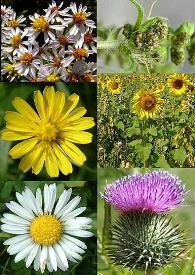 Family Index for Asterales Daisy Dandelion Ragwort Thistle