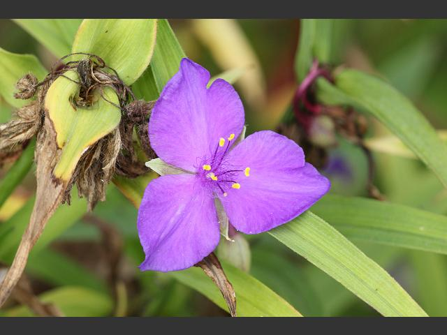 Tradescantia virginiana Spiderwort Commelinaceae Images