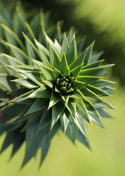Arborescent Flora Woody Plant Families Conifers Coniferales Pinales Tree and Shrub Images