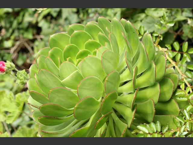 Aeonium species Crassulaceae Images