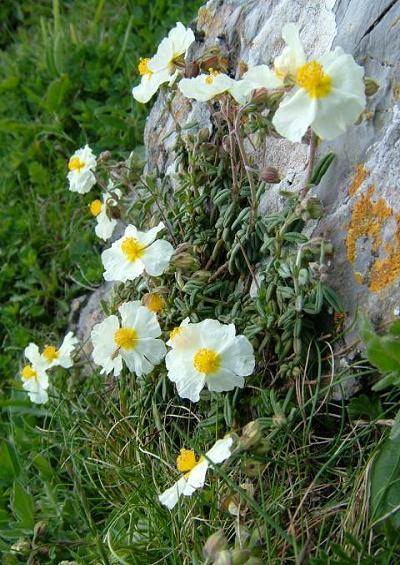 Cistaceae Rock Rose Family Cistaceae Images