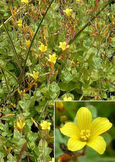 Hypericaceae St Johns wort Family Hypericaceae Images