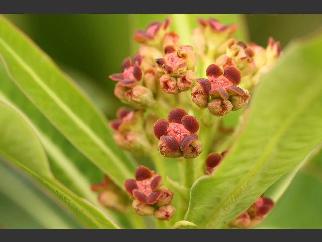 Euphorbia mellifera Honey or Canary Spurge Euphorbiaceae Images