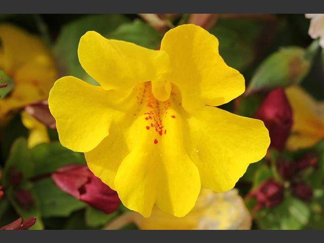 Mimulus x hybridus Hybrid Monkeyflower or Monkey Flower Phrymaceae Images