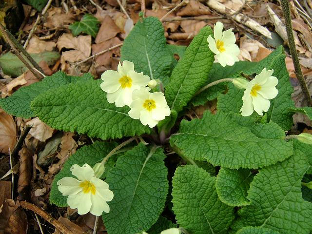 Primula vulgaris.  Примула обыкновенная.