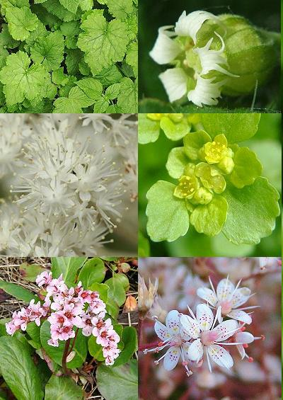 Family Index for Saxifragales Saxifrages Currants Milfoils
